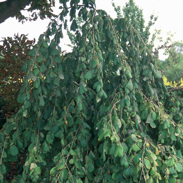 Hazel-tree-2m