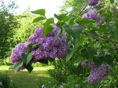 Lilac_tree-10342