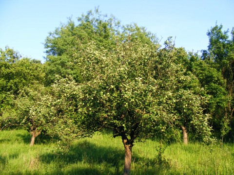 Apple-Tree-Plantation_14087-480x360