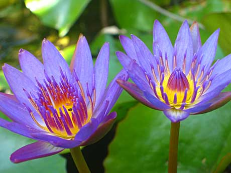 Water_lilies_lg