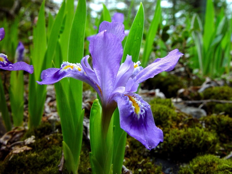 Iris_lacustris_lg