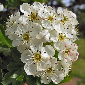 Hawthorn_blossom2