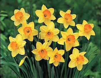 DaffodilLargeCupFortune