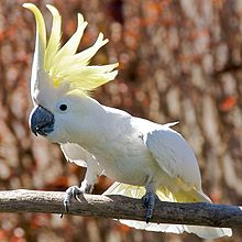 220px-Cacatua_galerita_-perching_on_branch_-crest-8a-2c