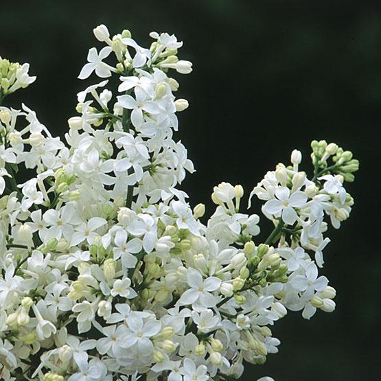 Syringa_x_hyacinthiflora_Mount_Baker_SM_1_lg